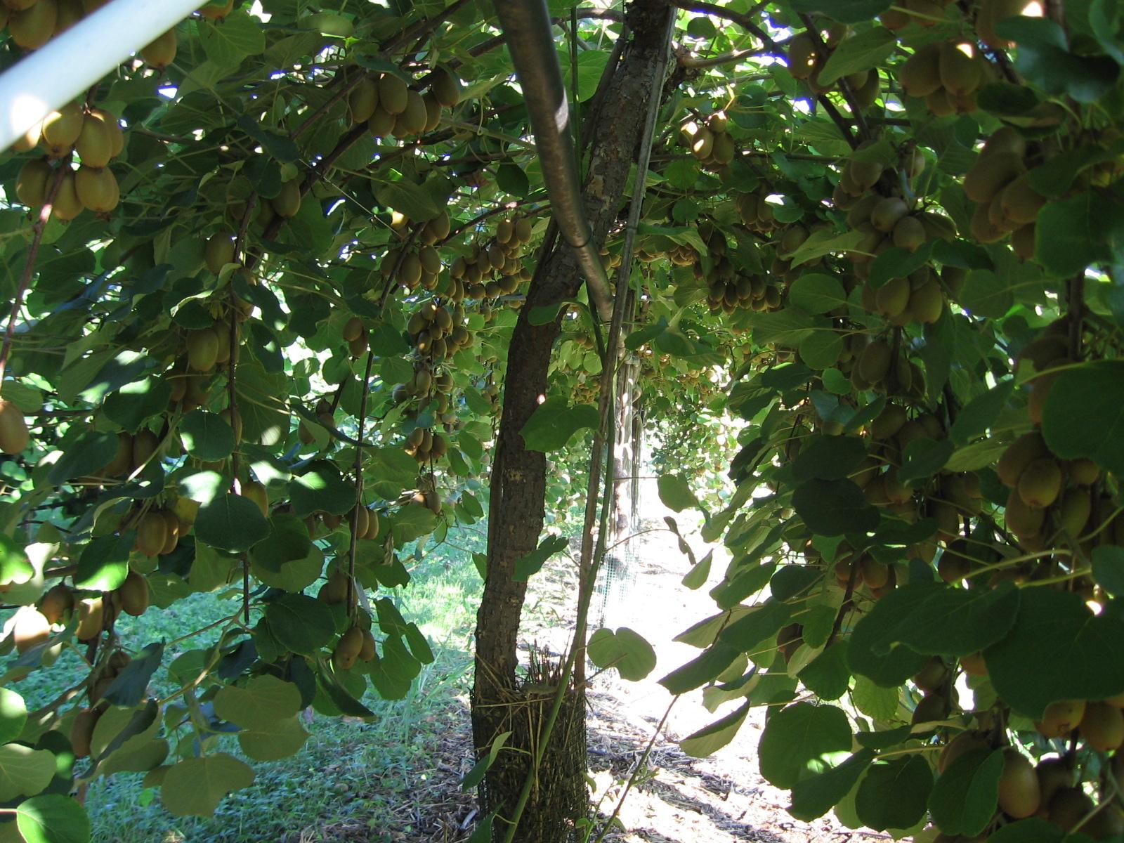 Kiwi dor la ricerca e le caratteristiche fws for Albero di kiwi